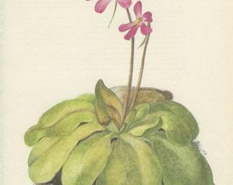 Butterwort, 8 x 10, Vintage Botanical Print, Home Decor, Indoor Plant 101, Flower Art, Illustration 1968