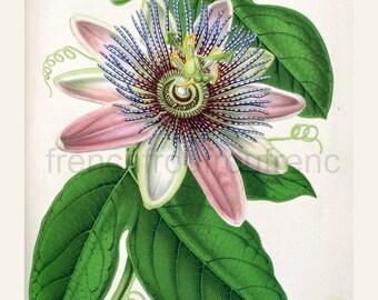 antique french botanical illustration passiflora passion flower digital download