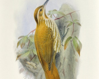 Woodcreeper Bird Print Book Plate SALE Buy 3, get 1 FREE