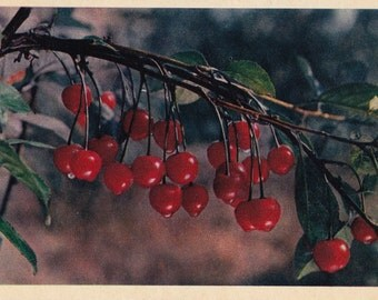 Vintage Photo by Shagina (Cherry) Postcard - 1956. The Truth Publ., Moscow