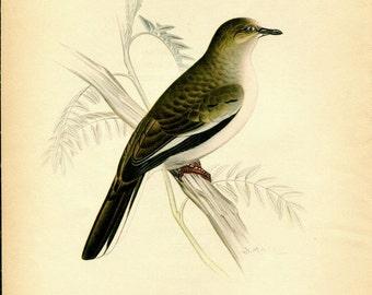 1942  Vintage Birds Print, Picui Ground Dove,  South American Birds