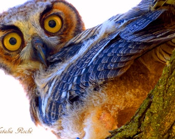 Great Horned Owl by Catherine Natalia Roché, Young Owls, Owl Photography, Bird Photography, Nature Photography, Animal Photography