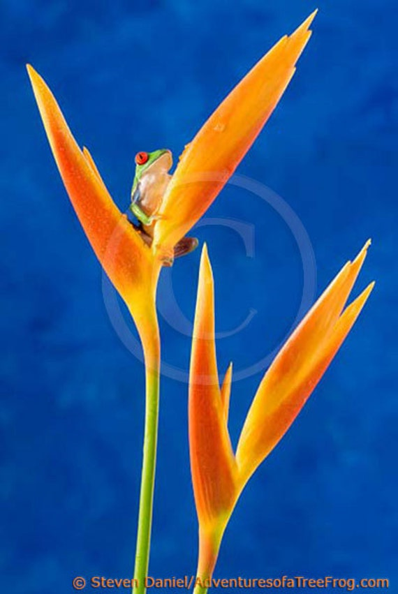 Tropical Flower and LIVE Frog Photograph, Beautiful Flower Picture, Blue Wall Art