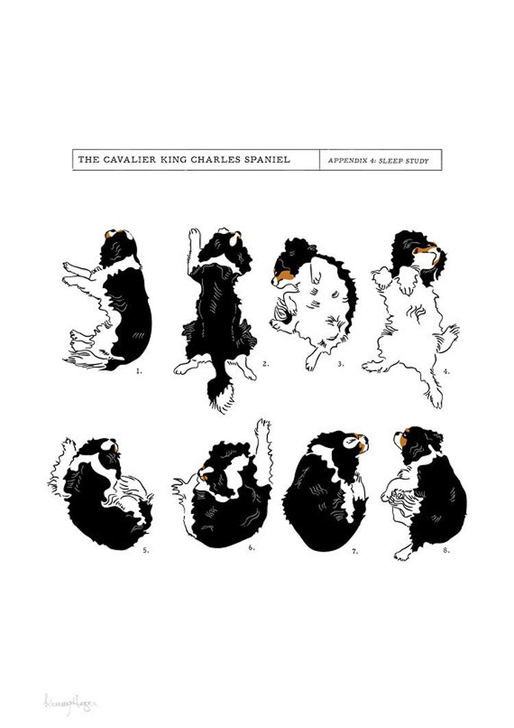 cavalier king charles spaniel sleep study art print  by