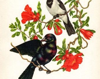 Cardinal Cowbird Vintage Bird Print Axel Amuchastegui 1959 Antique Bird Print Ornithology Nest