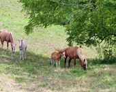 Fine Art Photography Card-Fine Art Photograph-Horse card-Horse photograph-Horses-Mares and foals-Landscape-Nature-Kentucky horses-Kentucky