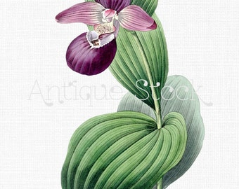 Purple Orchid Flower Vintage Image 'Cypripedium Macranthos' Drawing Clip Art for Scrapbooking, Collages, Invitations, Cards, Tags, Crafts...