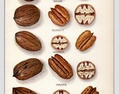 1912, Antique Print, Nut Print, Pecan, Original Print