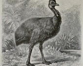 Ostrichs print. Ornithology. Old book plate, 1897. Antique illustration. 117 years lithograph. 9'6 x 6'2 inches.