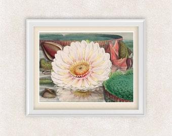 White Lotus BOTANICAL ART Print - 8x10 PRINT - Vintage Illustration - Item #118