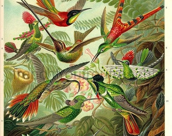 antique victorian humming bird illustration ernst haeckel DIGITAL DOWNLOAD