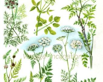 HERBS Vintage Botanical Print Antique, plant print 91 botanical print, bookplate art print, herb plants plant wall print