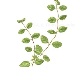 "Oregano Herb Art Print - Fine Art Reproduction of Original Oregano Plant Botanical Illustration, Green Kitchen Decor Giclee Print 11"" X 8.5"""
