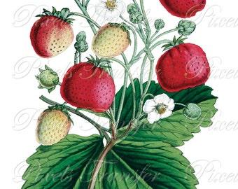 STRAWBERRIES Instant download Digital Downloads, fruits botanical illustration, fruit clipart 315