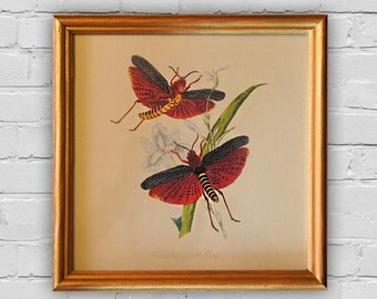 Vintage Print: Natural history of the insects of China. Wood frame.