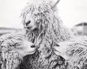 Large Black and White Photography Print, Sheep Photo, Large Wall Art, Sheep Print, Animal Photography, Animal Wall Art