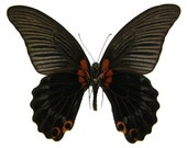 Great Mormon Butterfly, Papilio memnon, spread for your project or laminated or unmounted