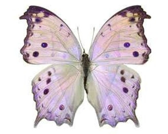 "Real Salamis parhassus ""Mother of Pearl"" Butterfly, spread for your project or laminated or unmounted"