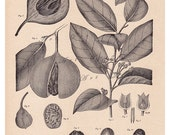 Nutmeg botanical print....instant download... Myristica moschata (Nutmeg) ...from 1904.. digital print  no. 654