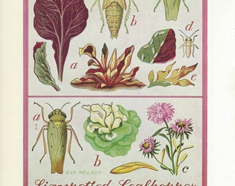 Vintage Book Plate - Cutworms / Leafhopper / double sided / Insects / Garden Pests