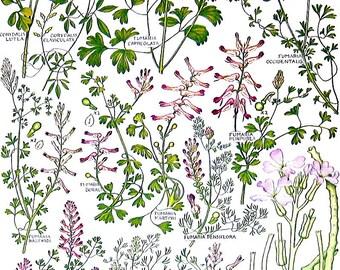 British Plants and Flowers - Yellow Corydalis, Fumaria - Vintage Botanical Print -Book Page - 3
