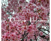 Cherry Blossoms - instant digital download image