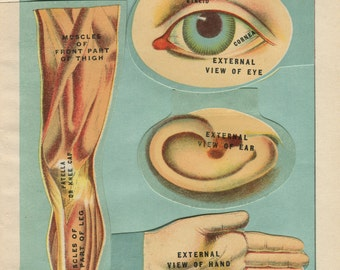 Antique Interactive Manikin Print of the Eye, Ear, Hand, Foot and Leg