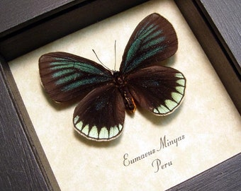 Real Framed Eumaeus Minyas Butterfly  8189