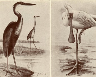 1952 Vintage Tinted Print of Water Birds of the Belgian Congo