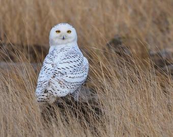Snowy Owl digital Photograph Oregon Coast 8x10