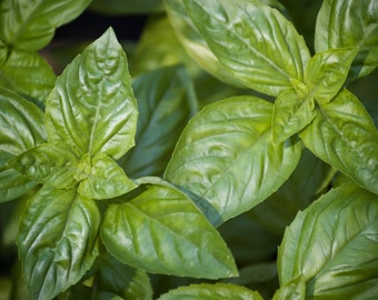 Italian Large Leaf Basil Seeds