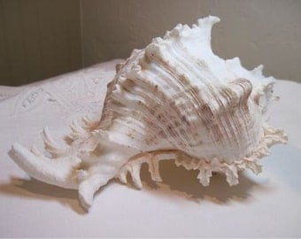 Seashell XL White Murex Shell Beach Decor and Beach Weddings Ring bearer shell Murek