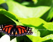 Butterfly Mini-Photo Art Print - ACEO