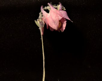 Dried Pink Columbine: Real Dried Flower
