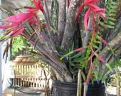 Organic grown plants, seeds Queens Tears Bromeliad - Billbergia nutans