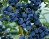 Highbush Blueberry Seeds - Untreated and Non-GMO
