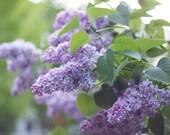 pale lilacs photo print