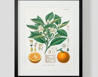 Botanical Illustration Print Plate 2 Orange Fruit