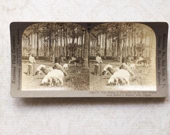 vintage stereocard photograph : keystone stereo card palms of memphis, egypt paper ephemera mixed media