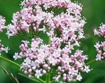 Valerian Seed-Organic Heirloom Herb Seed