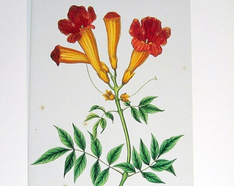 Vintage Botanical Print 1984 Color Art Original Book Plate 295 Trumpet Flower Red Orange Tropical Garden Nature Plant Vine Summer House
