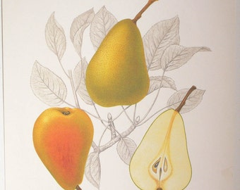 Botanical Print, Art Print, poster art, Erkejertigsparon, German for Pears, Fruit, Kitchen Art
