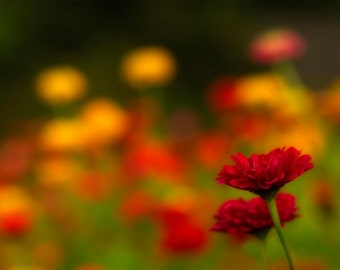 Flower Photograph - Red Wildflowers - Colorful - Summer - Autumn - Red - Yellow - Nature Photography - Farm - Home Decor - Wall Art