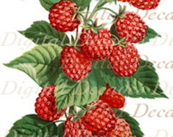 Red Raspberries Fruit Botanical - Digital Image Vintage Art Illustration