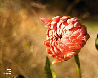Orange Chrysanthemum, Nature photography, Burnt Orange flower, Earth tones, Flower print,Fall home décor, Rustic home décor,Orange and Brown