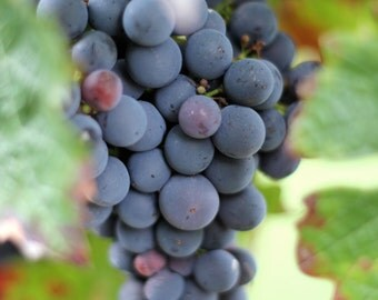 Grapes print, grapes photo, Loire Valley print, France photo, food photography, wine photography, vineyard
