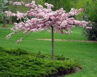15 Princess Tree Seeds-1068