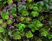 Tectractinum sp f/China~~~Coral Reef Live Succulent, Sedum, Stonecrop Live Plant