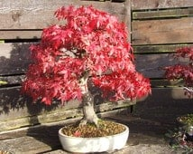 Unique red maple related items etsy - Arce rubrum bonsai ...