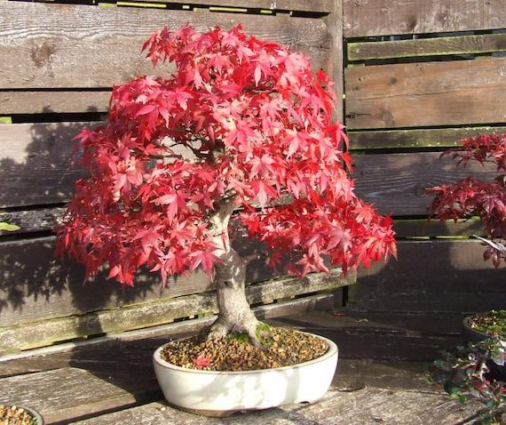 erbst ck 10 samen rot ahorn scarlet ahorn acer rubrum bonsai. Black Bedroom Furniture Sets. Home Design Ideas